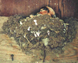 mud nests, swallow damage, swallow homes, baby swallow