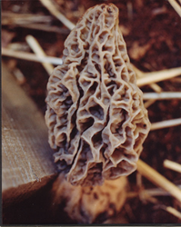 Morel mushroom growing in a Morel Habitat