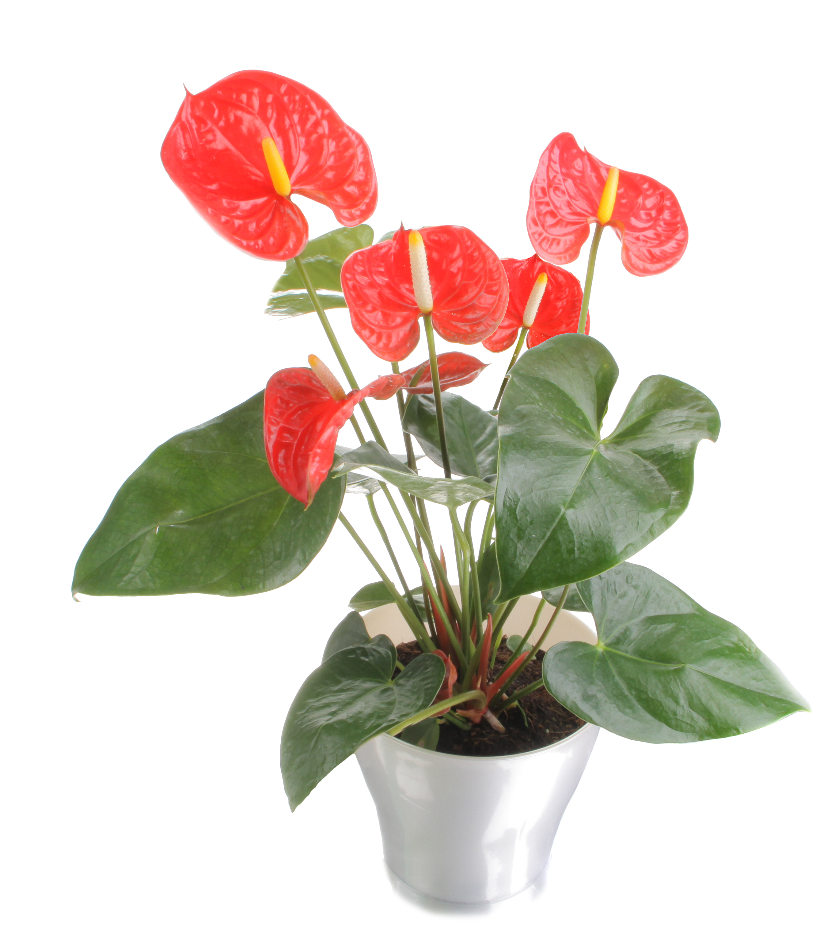 anthuriums bear heart shaped red flowers and leaves complemented with standing at attention yellow centers