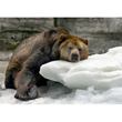 Image of a Tired Bear