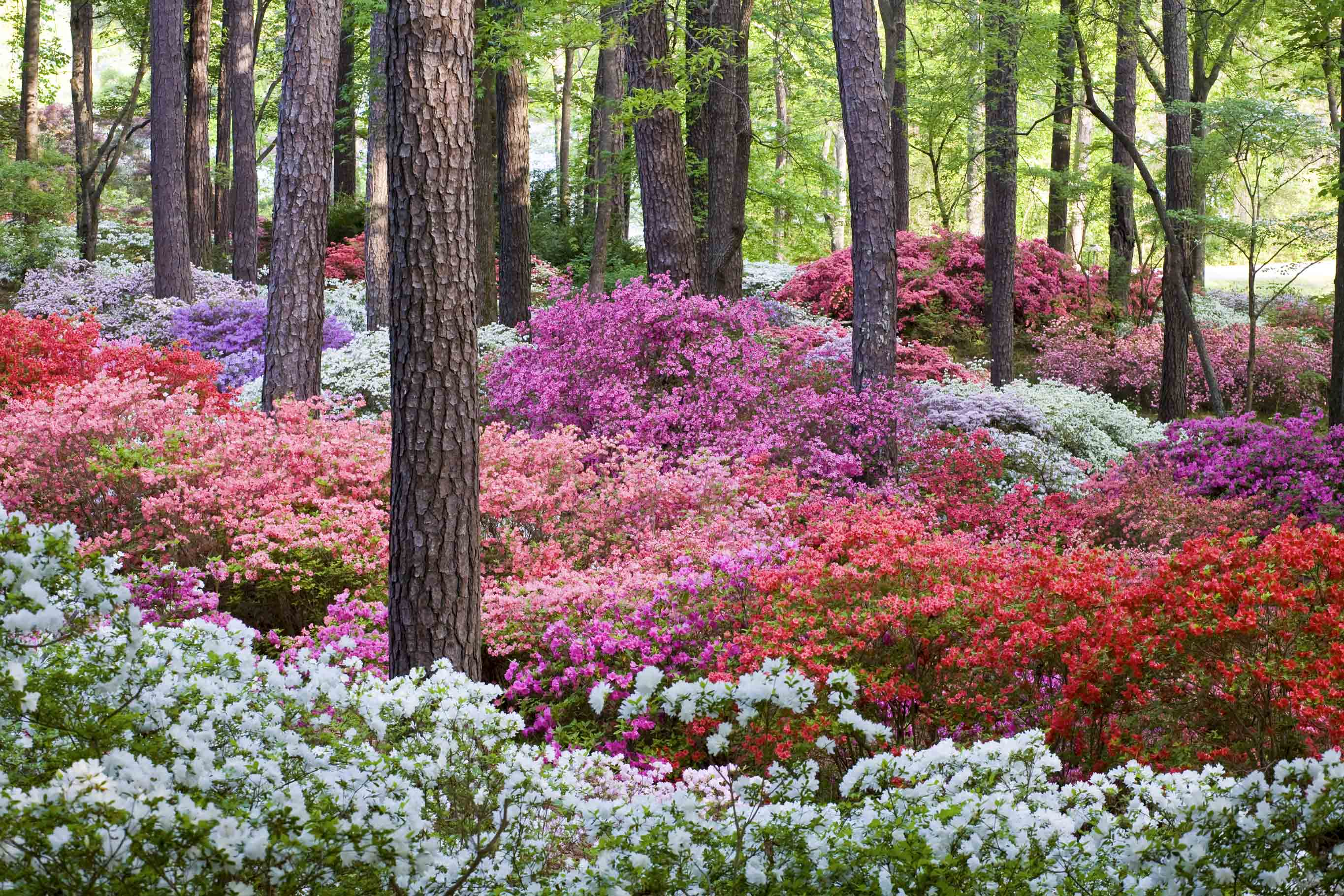 Blooming Of The World Famous Azaleas Has Arrived At