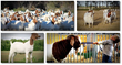 boer goat profits guide pack