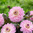 Enter to Win a Border Dahlia Garden from Longfield Gardens