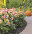 Facebook fans, enter for a chance to win a dahlia border garden from Longfield Gardens