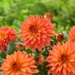 Facebook fans, enter for a chance to win a dahlia border garden with varieties such as these Melody 'Swing' from Longfield Gardens
