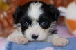 Royal Flush Havanese Shares Tips on How to Find a Reputable Dog Breeder