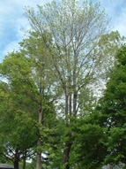 A Maple tree in decline is leafing out later than other healthy Maples