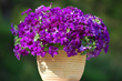 Purple Majesty is an outstanding trailing companion in a hanging basket or window box containing red and yellow blooming plants.