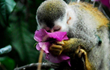 Endangered squirrel monkey species only found in Manuel Antonio area.