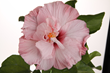 Tropic Escape South Pacific Sipper hibiscus