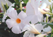 Tropic Escape Giant White mandevilla