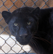 Black panthers are actually a color mutation of the spotted leopard