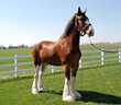 Record Setting Clydesdale Sells For $60,000