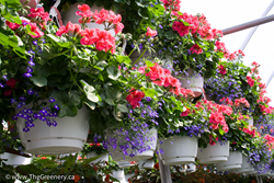 Mixed Hanging Baskets with Ivy Geraniums