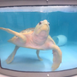 Join the South Carolina Aquarium for the First Public Sea Turtle...