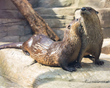 Two river otters preening one another at the Tennessee Aquarium.