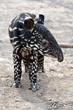 Denver Zoo Welcomes Second-ever Endangered Malayan Tapir Birth