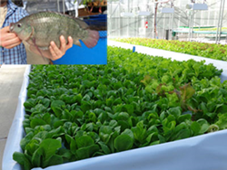 Clear Flow Aquaponic Systems® from Nelson and Pade, Inc. are very efficient and sustainable systems for raising fresh fish and vegetables, year 'round.