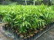 Aloeswood Saplings