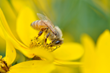 Commercial bees' work is worth $15 billion to U.S. crops