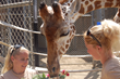 """Tiki"" the Giraffe Turns Twenty-Five at Oakland Zoo"