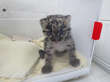 Denver Zoo Welcomes New Clouded Leopard Cub from Smithsonian Conservation Biology Institute