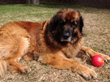 Stem Cell Therapy Provided by Pend Oreille Veterinary Service Helps Local Leonberger Get the Bounce Back in His Step and Avoid Knee Surgery