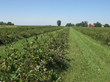 Aronia berries growing in America's heartland.
