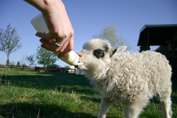 Baby Lamb at the Romine Farm