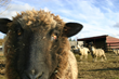 Sheep in the pasture at the Romine Farm