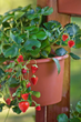 Fruitful Container Gardens Add Beauty and Flavor