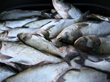 Research Finds Soybean-Asian Carp Feed Blend More Sustainable for...