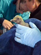 Pair of King Penguin Chicks Hatch at Newport Aquarium