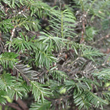 Cottony Taxus Scale on Yew is identified by cottony masses on branches and twigs.