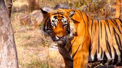Tiger in Ranthambore National Park India. Photo by Björn Ognibeni