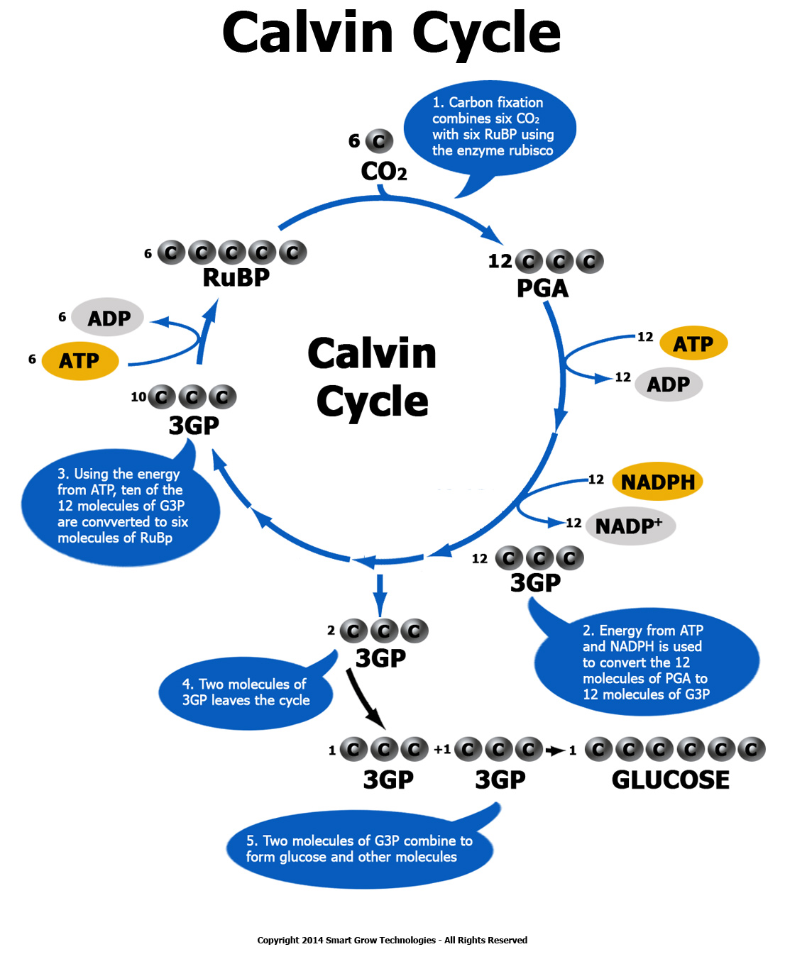 the calvin cycle The calvin cycle and light reactions are interdependent what is obvious from that is the connection to the light reactions the calvin cycle needs nadph and atp from the light reactions.