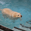 Swimming laps is a fun summertime fitness activity for dogs.