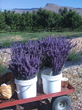 4th Annual Western Colorado Lavender Festival July 11-13, 2014