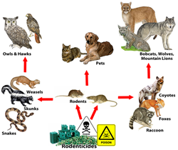 rat poison, rodenticide, rodenticides, mouse poison, wildlife, wild life, pet safety, wildlife safety, poison in nature, chemicals in nature, how rat poison hurts wildlife, how poison hurts nature