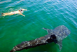 Baja AirVentures swim with Whale Sharks