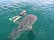 Baja whale sharks