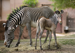 Grevy's zebras at the Saint Louis Zoo