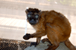Zookeepers Pair Up Rare Lemurs for Breeding