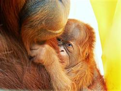 IUI, baby orangutan