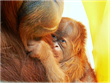 Endangered Baby Orangutan Born Through First-Ever Successful Assisted...