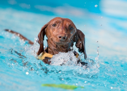 A Dachshund wearing a life jacket swims in a pool. Bodies of water, including swimming pools, can pose risks for pets.