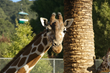 Oakland Zoo Hosts Special Day for Giraffes