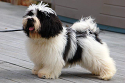 Royal Flush Havanese's Donnie in Perfect coat