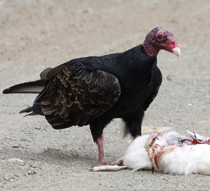 vulture, buzzard, black vulture, turkey vulture, carrion, roadkill, road kill, airport, airports