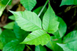 The easy way to identify poison ivy: Leaves of three, let it be